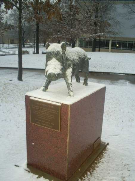 This statue of a hog near the Student Union on campus has survived many an ice storm!