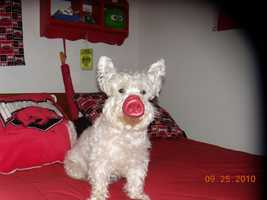 "Sir Winston the Westie saying ""Go Hogs!"""