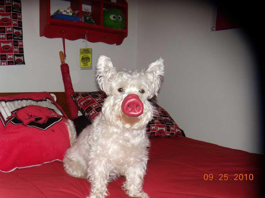 "Sir Winston the Westie saying ""Go Hogs!"""