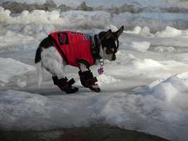 Razorback Snow Dog