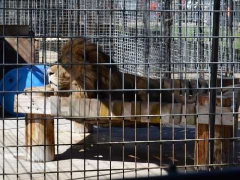Lion,Turpentine Wildlife Refuge