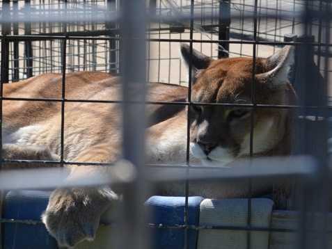 Mountain Lion- Turpentine Wildlife Refuge