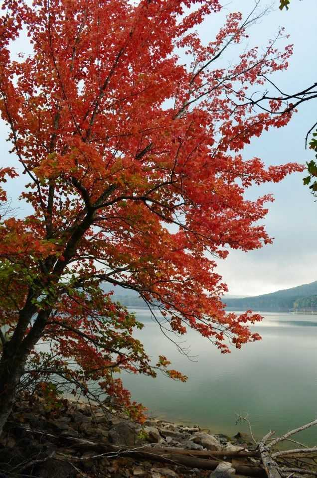 A Red Maple tree reaches out over Cove Lake.