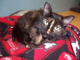 Presley is a gorgeous tortoiseshell adult cat who is house-trained.