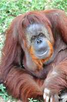 Chiquita the orangutan is back at the Little Rock Zoo after a successful surgery to remove a hernia.
