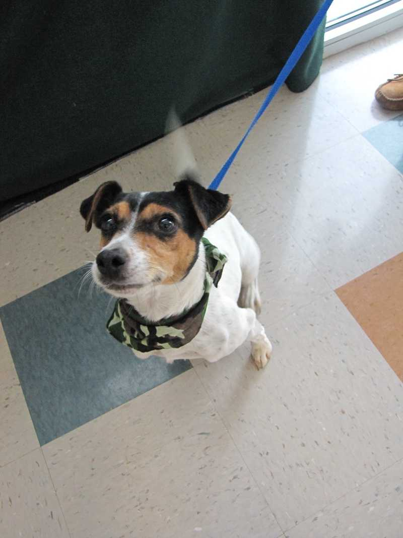 Fallon is an adult Jack Russell Terrier (Parson Russell Terrier) & Fox Terrier mix.