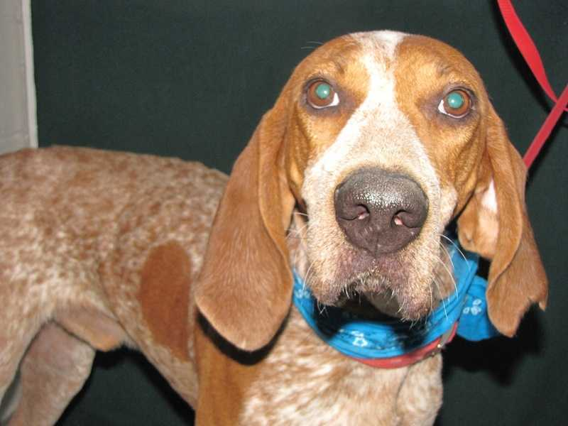 Harlan is a hound mix looking for a home.