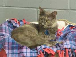 Kailani is an adult mix of a domestic medium hair and a dilute tortoiseshell mix.