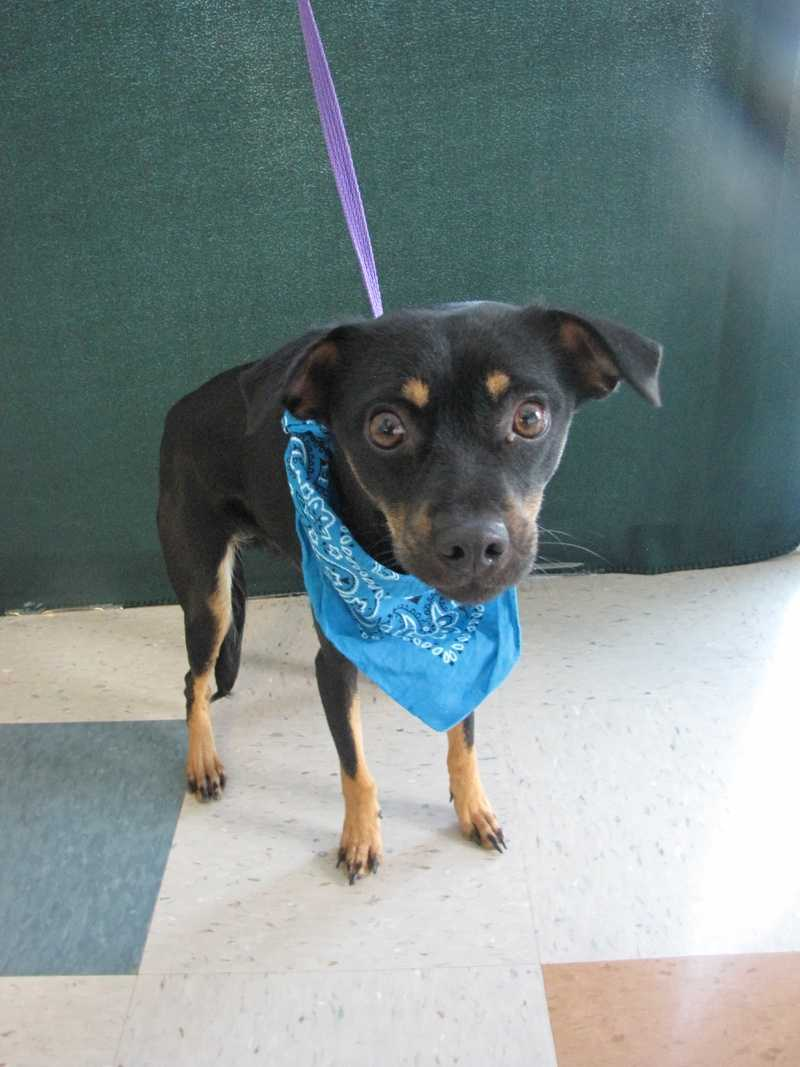 Lilia is a manchester terrier and chihuahua mix.