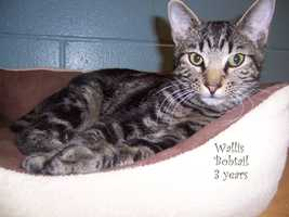 """Wallis is precious and purry! Has a stub of a tail to show off. He loves attention, just needs a human to lavish it on!"""
