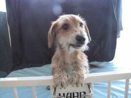 Scruffy is a young terrier mix.