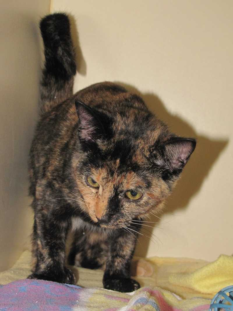 Meg is a young tortoiseshell cat with a gorgeous coat.