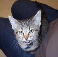 Lorca is a black tabby kitten.