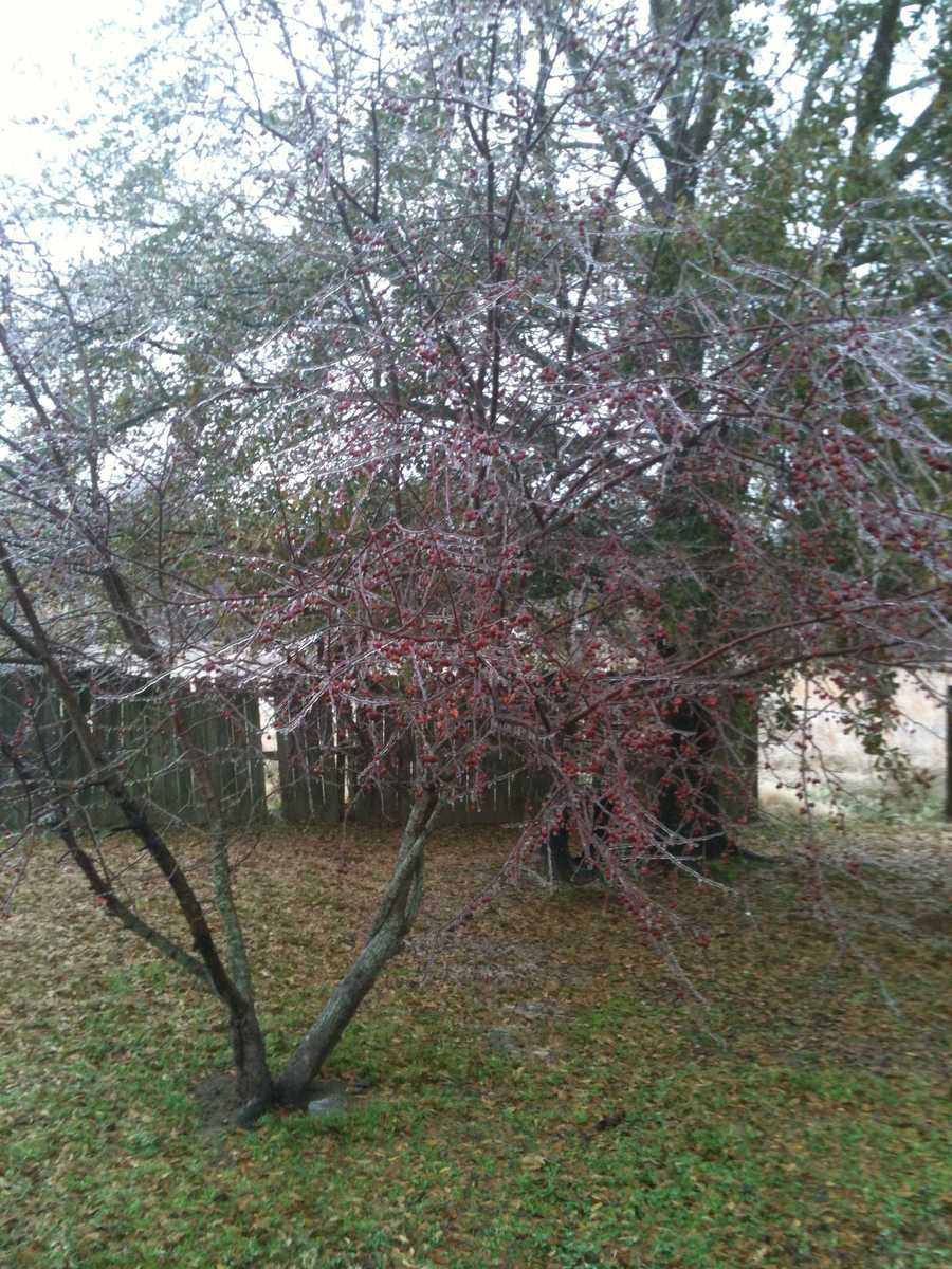 Icy trees in Greenwood