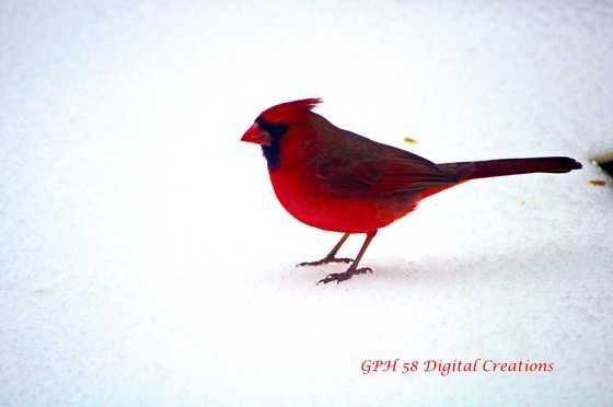 Answer: A cardinal