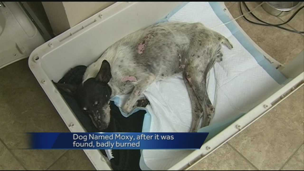 The dog was found with fireworks duck taped to her body