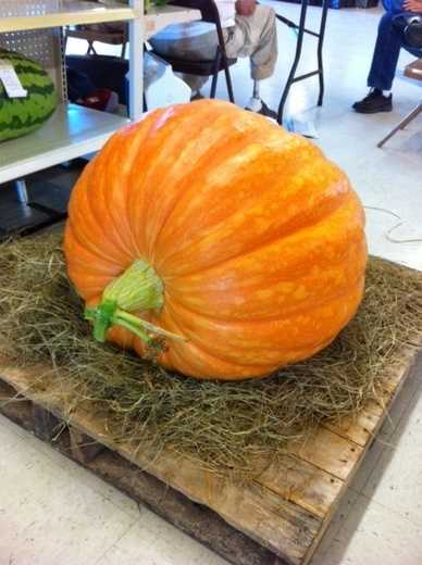 By Smiles: Largest Pumpkin at Benton County Fair, entered by Quentin Snoderly and Jeremy Rut.