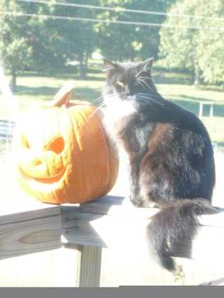 By CyndiLou: We looked out the window and found my mom's cat, Boots, sitting beside the pumpkin. She posed for the camera and took this wonderful fall picture! Black cat with Jack-O-Lantern