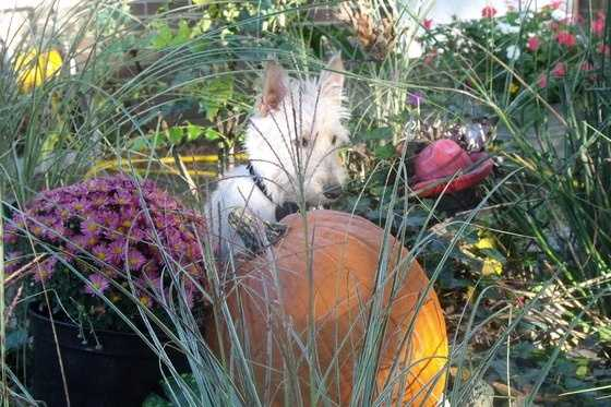 By Jeaniewthlbh: Our 11 month old Wheaton Scotty is waiting for Fall to Fall here in Eureka Springs.  She loves this pumpkin so much we will often catch her asleep with her head resting on top.  Of course by the time we get the camera she wakes and begins to wait again for Fall to Fall out of the sky and smack her on top of the head in the form a a projectile acorn.