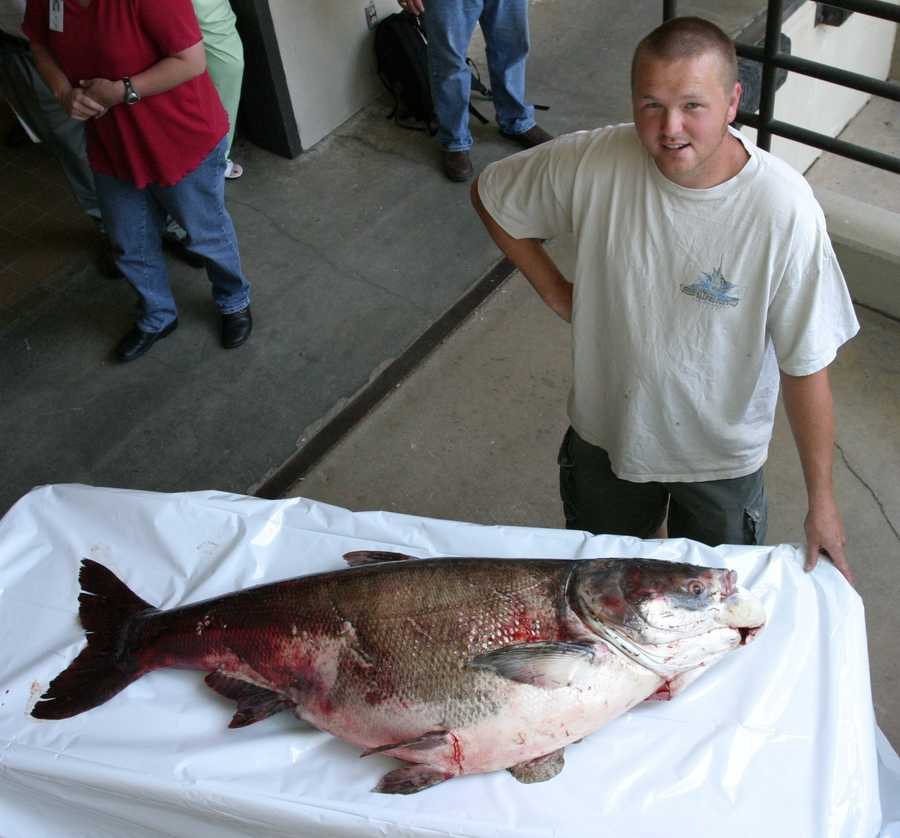 This record Bighead Carp was caught in the Arkansas River by Josh Keelin in 2007. It weighed 103 pounds, 8 ounces.