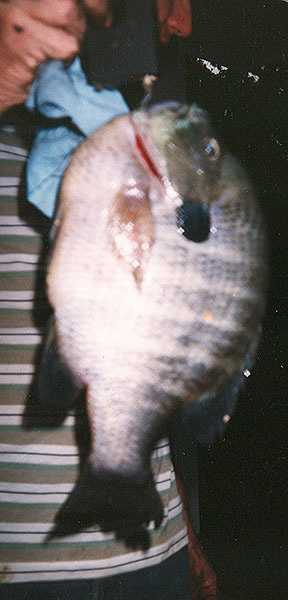 The record Bluegill weight 3 pounds and 4 ounces. It was caught in Fulton County by Albert Sharp in 1998.