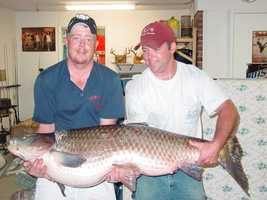 This record 80-pound Grass Carp was caught in Lake Wedington by Nathan Taylor in 2004.