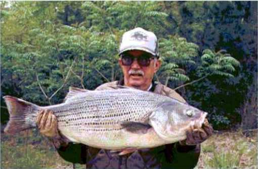 This world record Hybrid Striped Bass weighed 27 pounds and 5 ounces when it was caught by Jerald C. Shaum in Greers Ferry Lake in 1997.