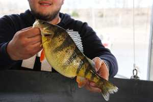 Fred Rich caught the record Yellow Perch in Bull Shoals Lake in 2010. It weighed 1 pound, 11 ounces.
