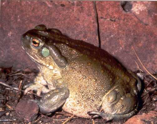 DMT is found on the skin of Colorado River toads