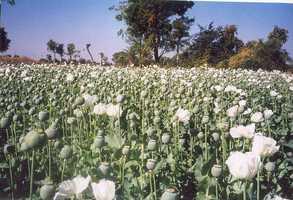 #10 Opium