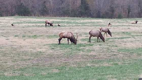 Elk in Boxley Valley showing down before the storm.