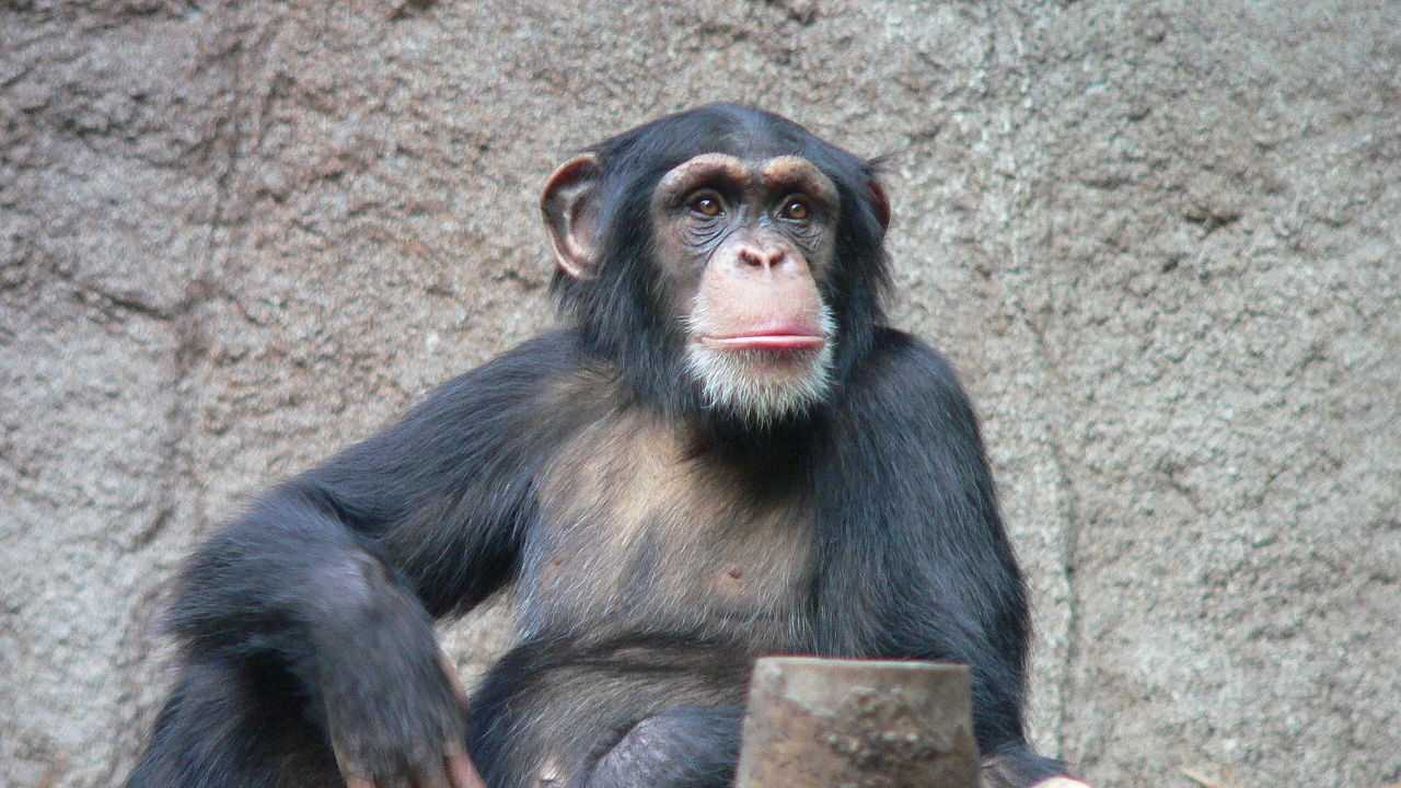 A chimpanzee in the Leipzig Zoo.