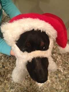 My oldest dog Mickey is already getting into the holiday spirit! We bought Mickey right out of a pet store window in Amarillo.. He's Amarillo Mick playing St. Nick.