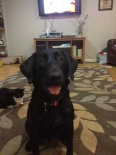 The Roberts family also has a black lab named Buckeye. He was found running free near I-49 and Wedington. We searched for his owners for awhile, and then made him a permanent part of the Roberts clan.
