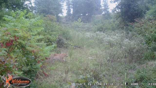 Marion County Arkansas Mountain Lion Picture 1