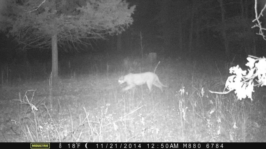 Taney County Missouri Mountain Lion Sighting