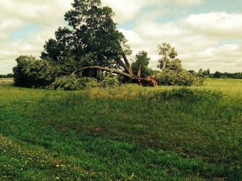 Uprooted tree in Lavaca from high winds and flooding.