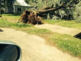 Tree uprooted in Panama, OK.