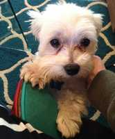 Maltese • Adult • Male • SmallMeet Bingo, a sweet three year old Maltese boy. Bingo may not be very big, but he makes up for that in personality and sass. Bingo is a very small kiddo(about 5 lbs) and never wants to be left alone outside. There are too many scary animals out there who wouldn't mind having him as a snack!If you'd like to meet Bingo, go to the okwestierescue.com websitehttps://www.petfinder.com/petdetail/33214413