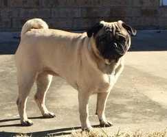 Pug • Young • Female • SmallShe is 7 years old, healthy, and appears housebroken. She has very attached to her foster dad and follows him everywhere. She is not overweight, but could use some portion control during her feedings.If you would like to be considered for Carly's forever family, please complete an adoption application and e-mail it to pugrescuenwa@yahoo.comhttps://www.petfinder.com/petdetail/34170631
