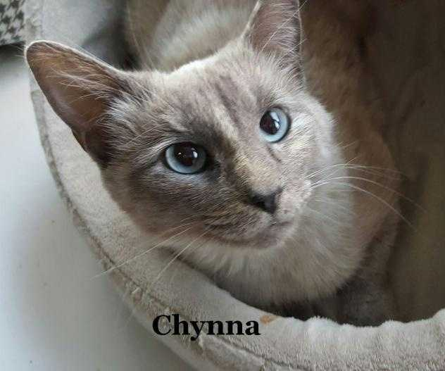 Siamese • Young • Female • MediumChynna is a super sweet Lilac Point Siamese mix (just the tip of her toes white). She is about 4 years old and is friendly to other cats. She has the typical beautiful blue eyes.https://www.petfinder.com/petdetail/34212044