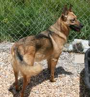 German Shepherd Dog • Adult • Female • LargeHouse trained • Spayed/Neutered • Current on vaccinationshttps://www.petfinder.com/petdetail/32689350