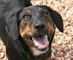 Australian Shepherd Mix • Adult • Male • MediumHouse trained • Spayed/Neutered • Current on vaccinationshttps://www.petfinder.com/petdetail/33194270