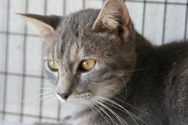 Domestic Short Hair • Adult • Female • MediumHouse trained • Spayed/Neutered • Current on vaccinations • Primary Color(s): Tabby - Gray, Blue or Silverhttps://www.petfinder.com/petdetail/29787495