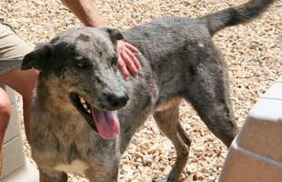 Great Dane & Shepherd Mix • Adult • Male • LargeHouse trained • Spayed/Neutered • Current on vaccinationshttps://www.petfinder.com/petdetail/33194371