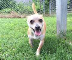 Chihuahua • Senior • Male • SmallPompey is a happy, funny, playful dog who bounces through life with a joy and energy that never flags.Pompey is an 8 pound, 8-year-old, chihuahua mix, who is full of life, love, and fun. He gets along with other dogs. He's newly neutered, microchipped, and up to date on his vaccinations.https://www.petfinder.com/petdetail/32507835