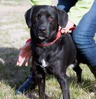 Labrador Retriever • Adult • Male • MediumAdoption fee for dogs and puppies is $65https://www.petfinder.com/petdetail/34176412