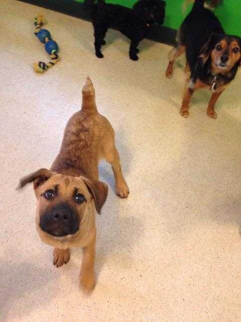 Boxer & Labrador Retriever Mix • Baby • Female • LargeCall 479-444-7387 or hsozarks@gmail.com for more information.https://www.petfinder.com/petdetail/34189494