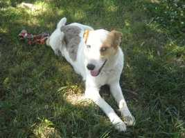 Australian Shepherd Mix • Adult • Female • MediumLola is a beautiful 5 yr old, 60 pound Australian Shepherd mix available for adoption. She is a very smart and super sweet dog. She has the most beautiful sky blue colored eyes. She loves people and likes to give kisses.https://www.petfinder.com/petdetail/23023732