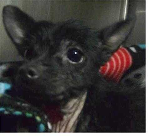 Chihuahua • Adult • Female • SmallAnnabelle is a 7 year old. She doesn't understand how she got here or why she's here. She came in as a stray and really needs a home where she cane be safe and loved. She will be available for adoption on 1/6/16 if not reclaimed.https://www.petfinder.com/petdetail/34134657
